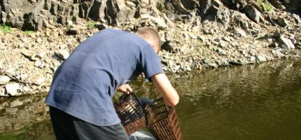 L'écrevisse de Lousiane sur le bassin de la Sioule